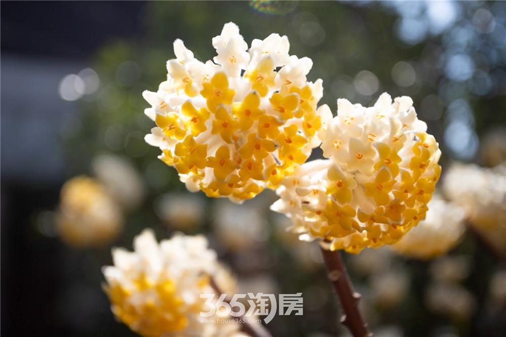 伟星芜湖院子园林实景, 花朵争相开放(2020年3月摄)