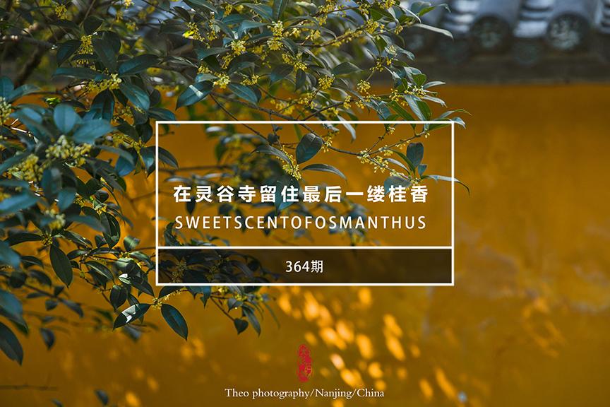 光影石城364:在灵谷寺寻找一缕桂香