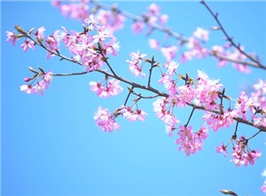 陌上花开春意美 樱花烂漫几多时