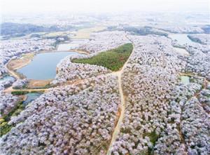 春风吹得溪水岸 千亩樱花似雪飞
